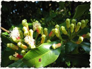 Image result for γαρύφαλλο μπαχαρικό φυτό